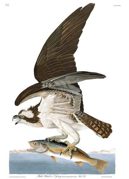 Visarend van Birds of America