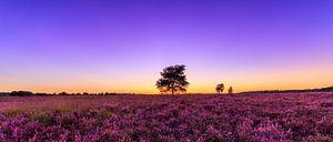 Purple Sunset - Ginkelse Heide
