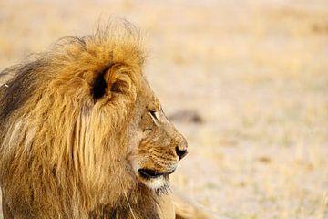 Leeuw, Hwange National Park van Marco Kost