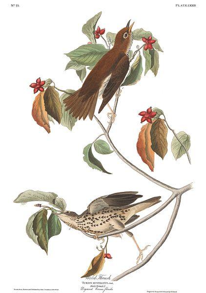 Amerikaanse Boslijster van Birds of America
