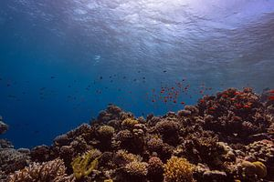 The Big Blue met koraal