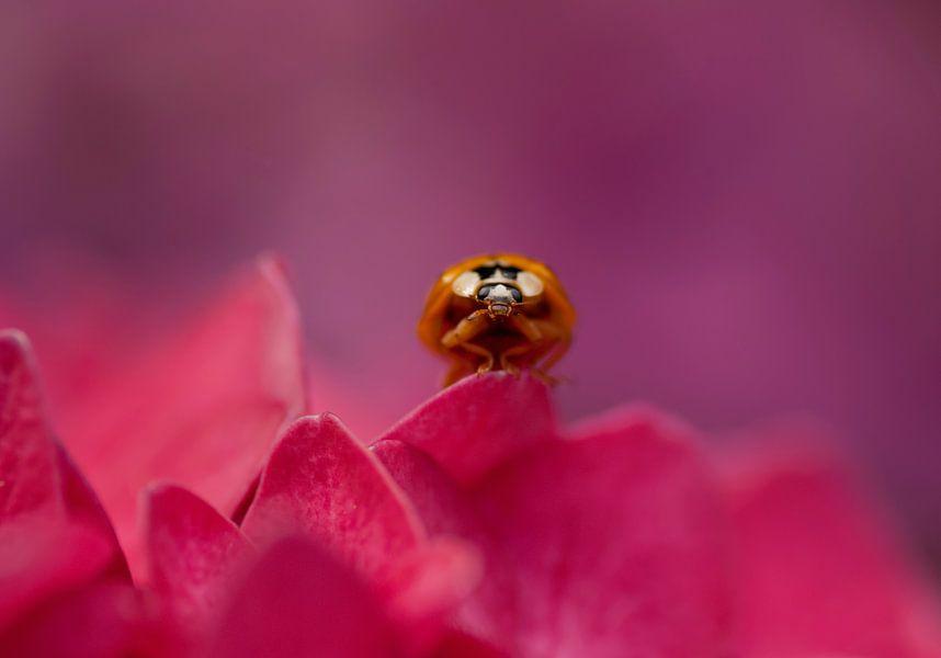 Vrolijke opname van een lieveheersbeestje tussen  de roze en lila Hortensia's