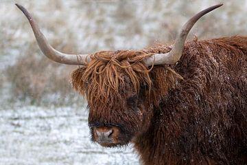 Schotse hooglander in de sneeuw - portret van Henk Zielstra