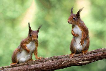 Eichhörnchen im Spiegelbild von Ronny Struyf