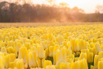 Gele tulpen met stuivend zand bij zonsondergang van Stefanie de Boer