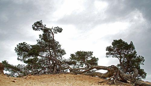 Bomen op een zandheuvel van