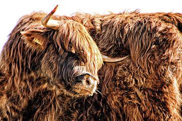 Portret van een Schotse Hooglander van Jessica Berendsen