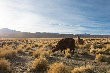 Lama op de hoogvlakte von Lucas De Jong