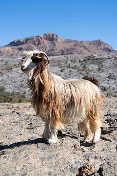 Langhaarige Ziege in den Bergen von Oman von The Book of Wandering