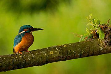 IJsvogel von Miranda Bos