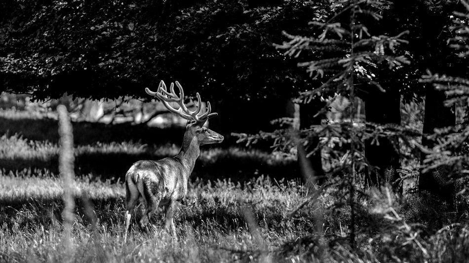 Edelhert in het bos van Wildfotografie NL