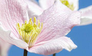 Pastel bloem, voorjaarstafereel! van Malou van Gorp