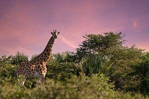 Girafe de Baringo (Giraffa camelopardalis), parc national de Murchison Falls, Ouganda. sur Alexander Ludwig