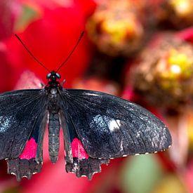 vlinder op een rode bloem van W J Kok