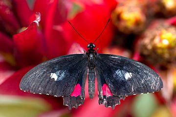 vlinder op een rode bloem von W J Kok