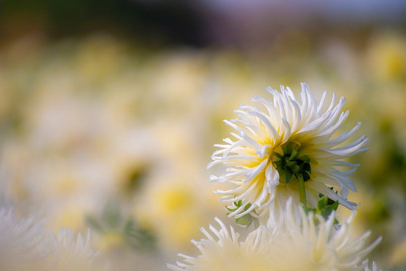 Dahlia in white van Everyday photos by Renske
