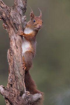 Seltsames Eichhörnchen von Tom Kruissink