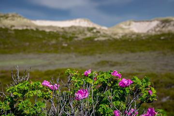 Sylt-Rosen und Dünen auf Sylt von Gerwin Schadl