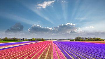 schöne Blumenzwiebelfelder in voller Blüte von eric van der eijk