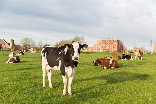 Koe in de wei van