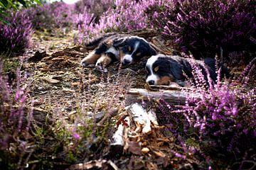 Slapende puppies in de heide van Danai Kox Kanters