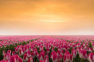 Tulpen in de vroege ochtendzon van Gerda Holla