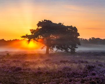 Sonnenaufgang, die Hoorneboegse Heide von Anthony Trabano