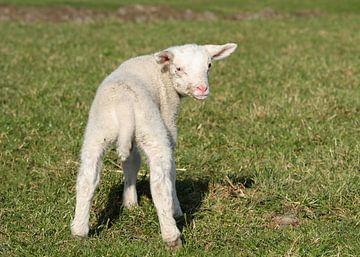 Weißes Lamm auf der Wiese von Charlene van Koesveld