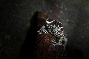 tropische gifpijl kikker