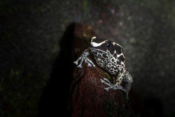 tropische gifpijl kikker van Desirée Couwenberg
