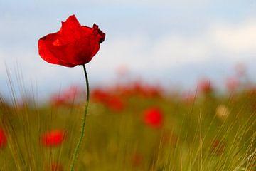 Poppies von Anne Seltmann