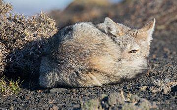Slapende Patagonische vos van Lennart Verheuvel