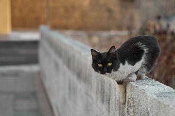 Katten van La Palma van MijuKasi