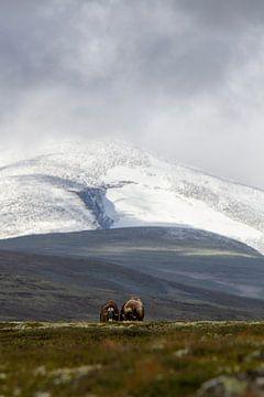 2 Boeufs musqués posent ensemble pour Snøhetta en Norvège. sur Geke Woudstra