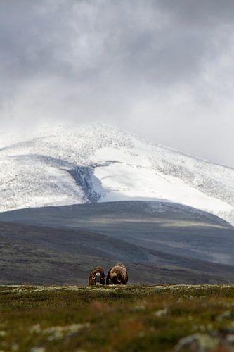 2 Muskus ossen poseren samen voor Snøhetta in Noorwegen.