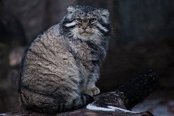 Die Wildkatze manul sitzt auf einem Stumpf und schaut sich mit einem wütenden Blick um, eine wütende von Michael Semenov