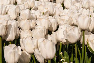 Beeldvullend tulpenveld met witte tulpen sur Brian Morgan