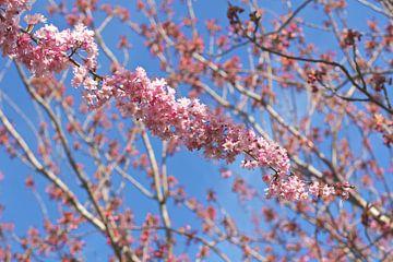Sakura von Marianna Pobedimova