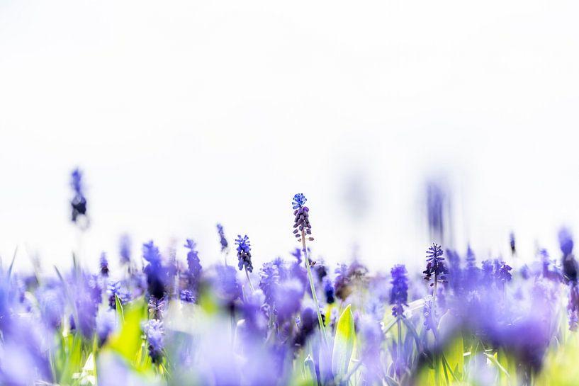 Blauwe druifjes van Henk Verheyen