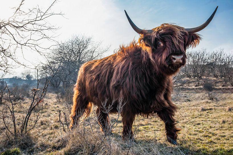Schotse Hooglander, Castricum. mooiste foto van N.L.(de groep) van Frank Slaghuis
