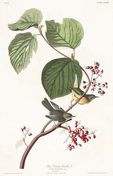 Blauwe zwartkeelzanger van Birds of America