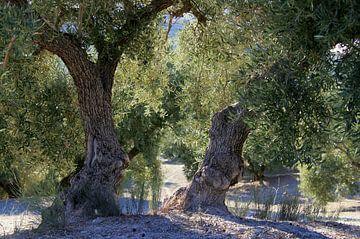 Olijfbomen in Andalusie.