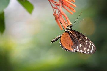 Heliconius hecale - vlinder van Lonneke Prins