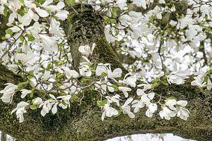 Witte bloemen van de Magnolia lentebloesem