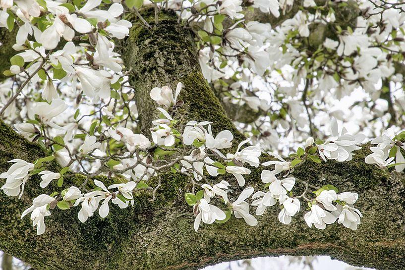 Witte bloemen van de Magnolia lentebloesem van Jessica Berendsen