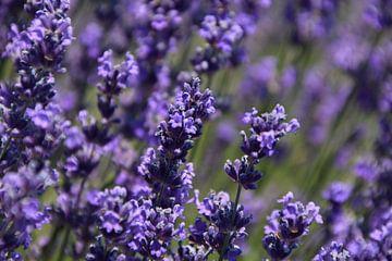 Lavendel van Robin Verhoef