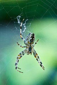 Spider, spider... van