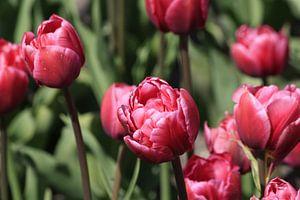 Tulpjes van