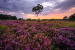 Paarse heide in volle bloei van Björn van den Berg