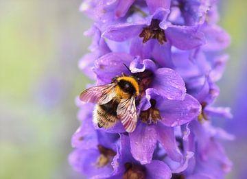 Hummel auf einer violetten Blume von Anam Nàdar